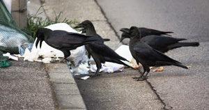 ゴミを漁るカラス